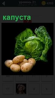 Изображение кочана капусты и клубней картошки рядом для приготовления еды из данных овощей