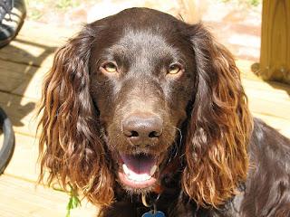 Boykin Spaniel-dog-dogs breeds-pets