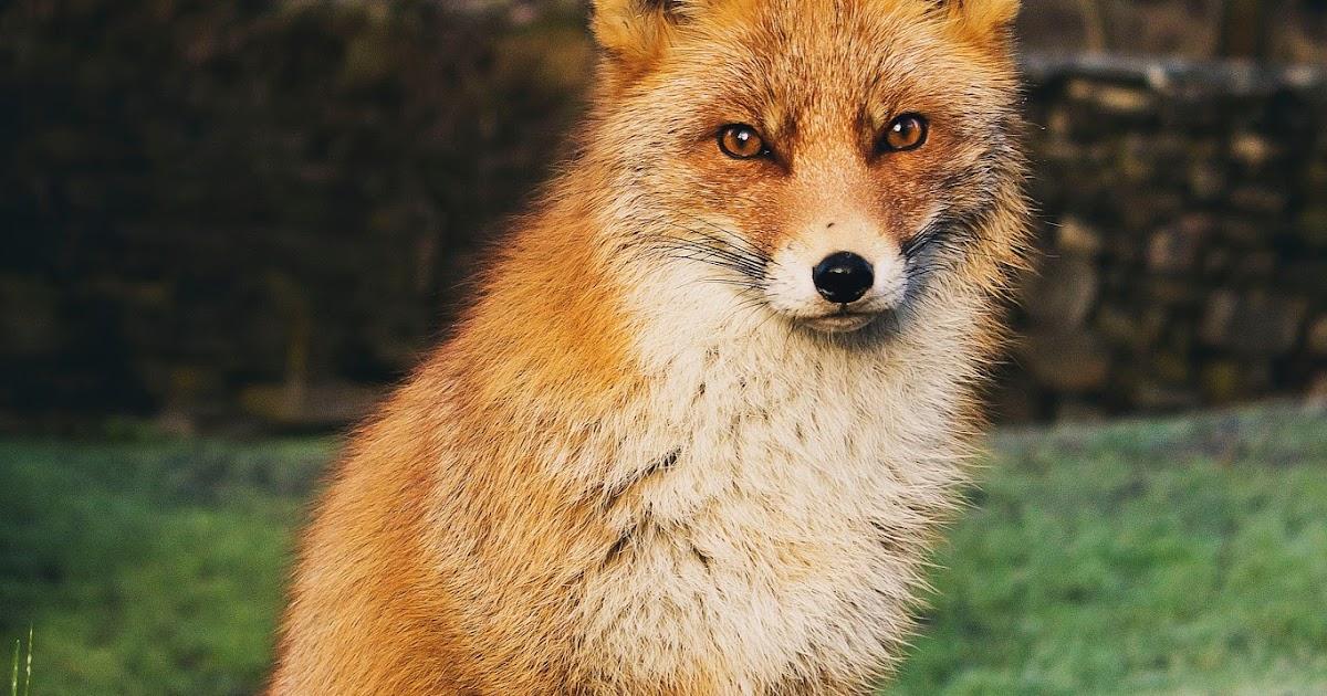 Cat That Looks Like A Fox BayMoonDesign: F...