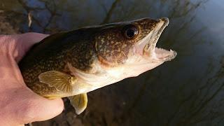 potomac walleye