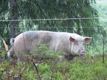 schwein blaue ohren