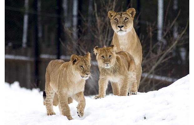 Snow Animals Lions Info And Pictures All Wildlife
