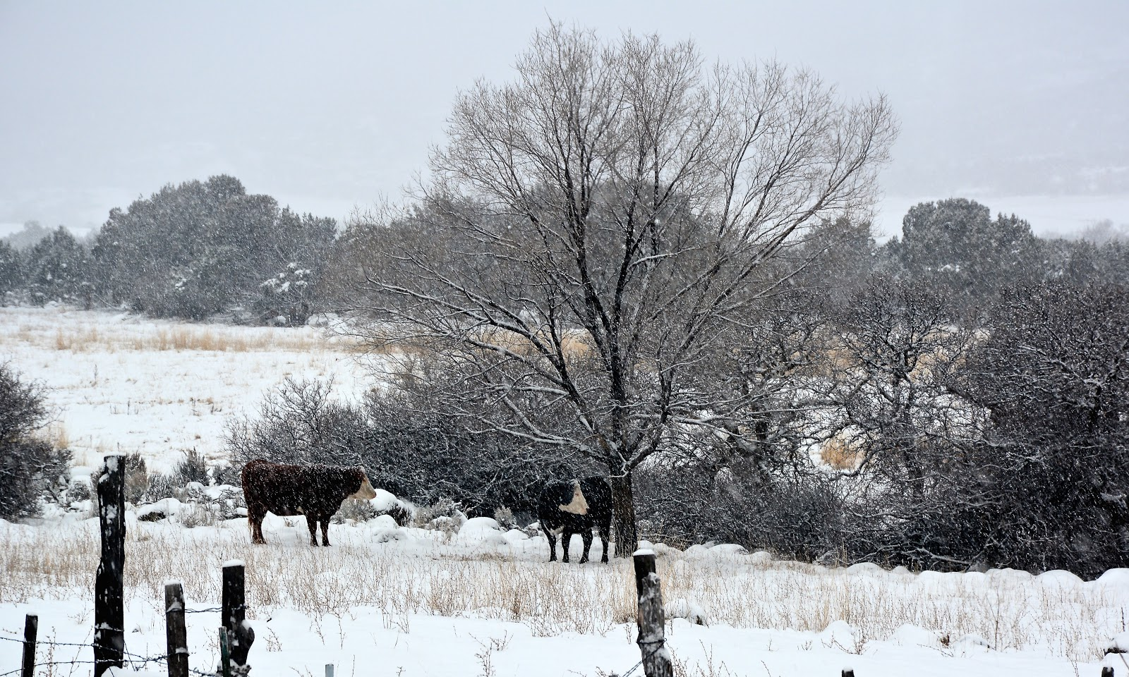 Cows in the snow in Colorado, USA