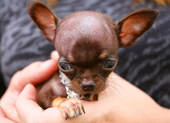 Tiny Chihuahua Crowned 2014 World S Smallest Dog Bold