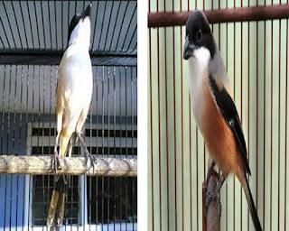 Burung Cendet- Mineral dan Vitamin yang Sangat Penting Bagi Membantu Penangkaran Burung Cendet Sukses