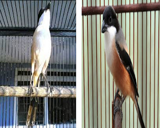 Burung Cendet - Pewaratan Burung Cendet Harian Mulai Cara Mengatasi Burung Cendet Drop dan Over Birahi - Penangkaran Burung Cendet
