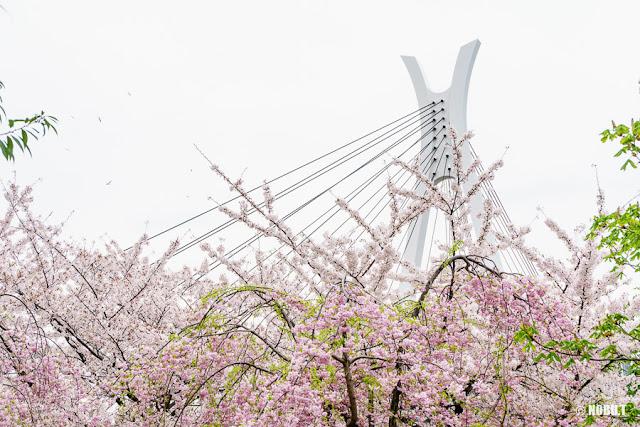 石川島公園(中央区)の桜と中央大橋