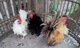 Ayam Kate Walik Dewasa