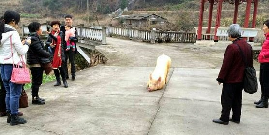 the worshiping pig kneels before the Buddhist temple as pilgrims watch the rare phenomenon via geniushowto.blogspot.com cute pig pictures