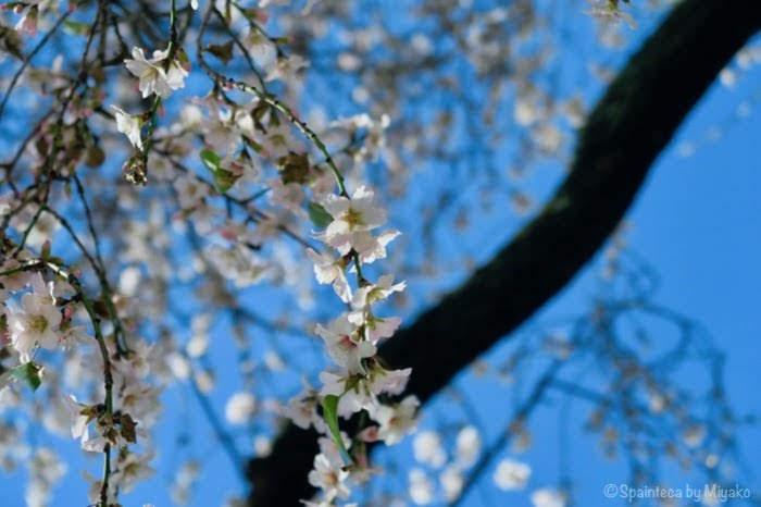 マドリードのレティーロ公園で咲くアーモンドの花と青い空