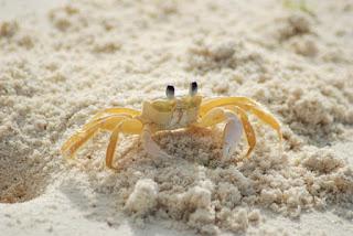 Alasan Mengapa Kepiting Berjalan Menyamping