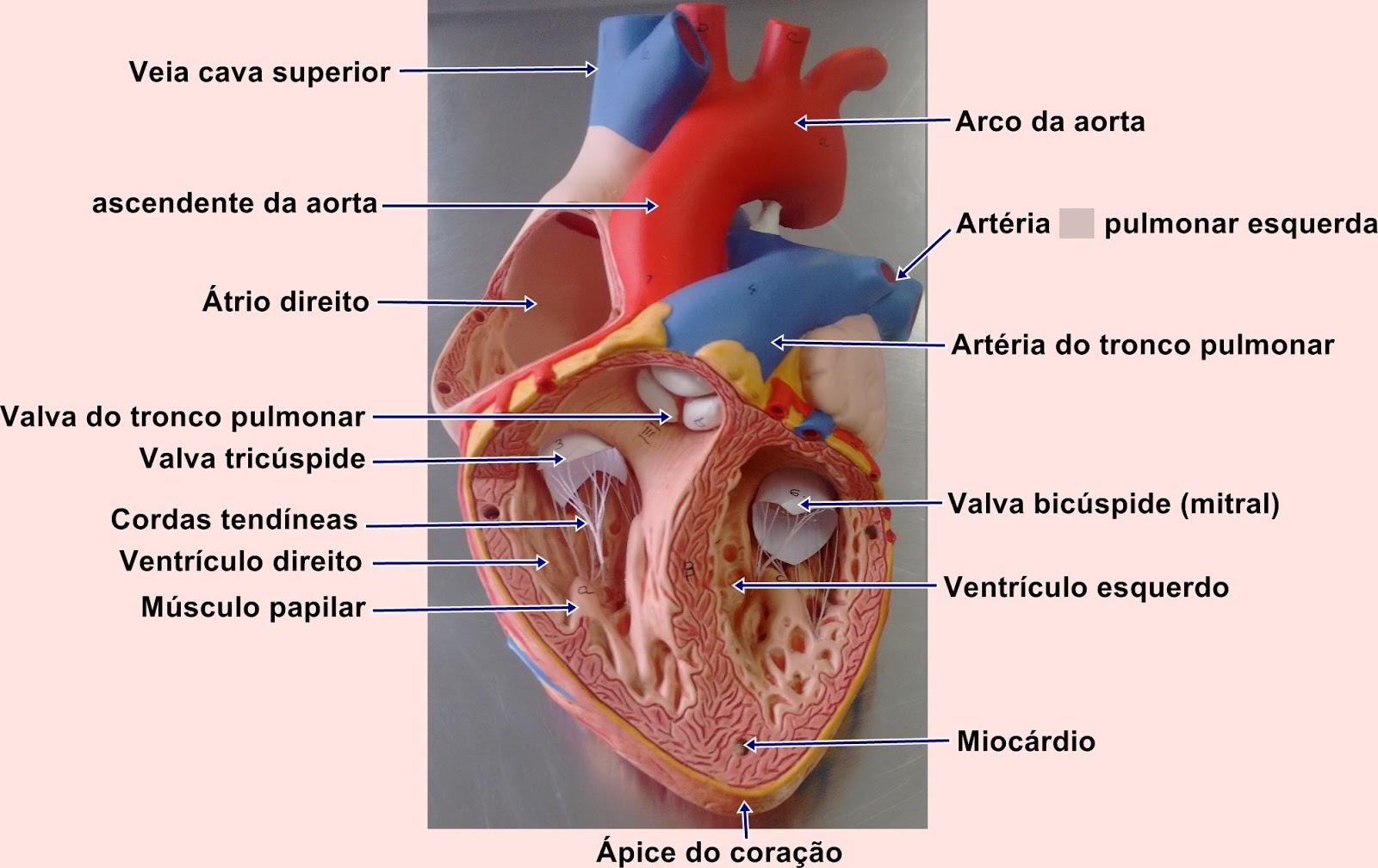 EDF Anatomia Humana : Sistema Circulatório