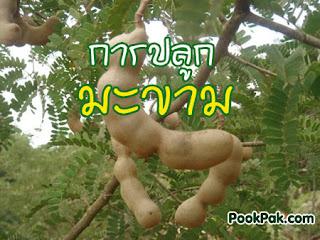 การเพาะปลูกมะขาว