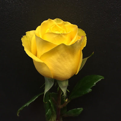 Yellow Rose at Stein Your Florist Co.