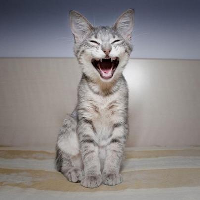 gatos-maullido-excesivo-tiene-diferentes-causas