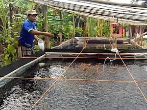 Wajib Tahu! Manfaat Plastik Uv Untuk Bak Ikan, Lebih Kekal & Kondusif Dari Serangan Hama