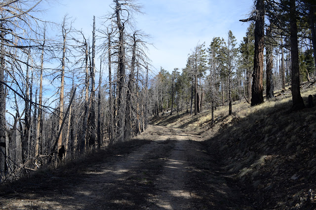 road surrounded by burned tree