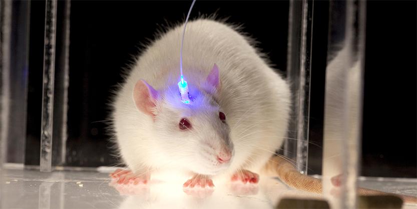 Rat Optogenetics