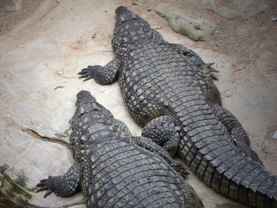 Krokodile im Tropen Aquarium im Tierpark Hagenbeck