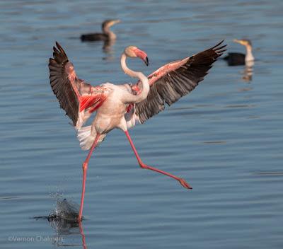 Flamingo landing: Milnerton Lagoon / Woodbridge Island, Cape Town