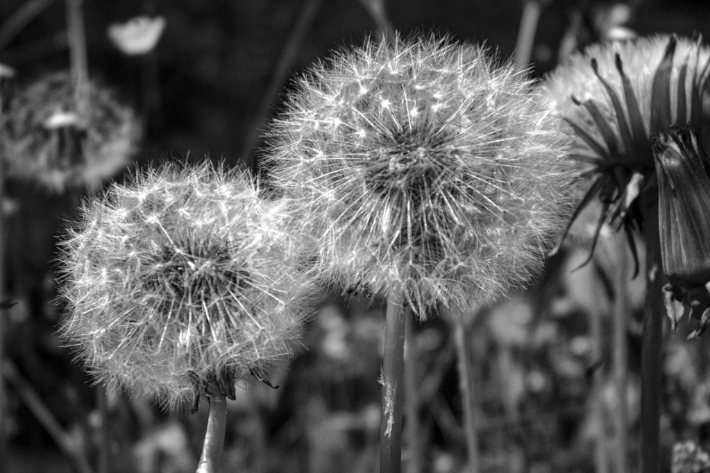 The Weekend in Black and White (11/2019) – Dandelion (Pusteblume)