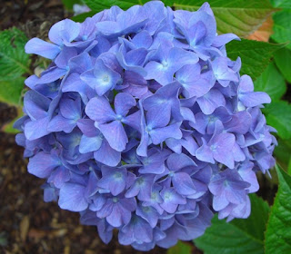 bunga-Hydrangea-atau-bunga-rotansia