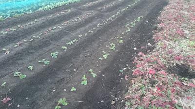 日没後、本日の畝の仕上がり。