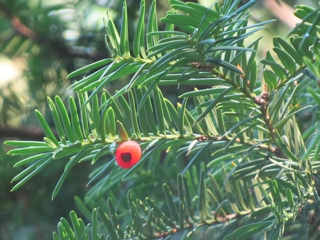 Arillo Taxus baccata