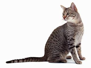 gambar kucing Egyptian Mau