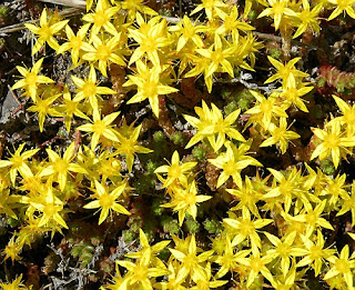 Iarba de Soaldina-Planta Medicinala