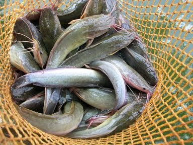 Umpan Ikan Lele Jitu