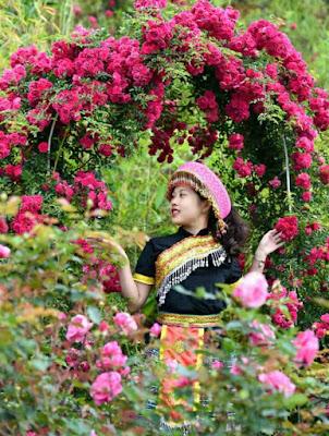 hoa hồng leo đỏ sapa