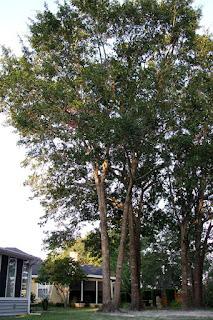 jaguarjulie water oaks in backyard