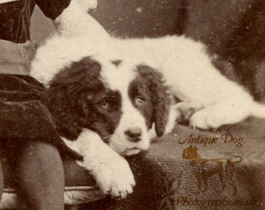 The Antique Dog Photograph Gallery: The St  Bernard Puppy of Southport
