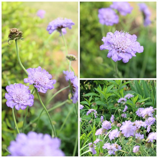 scabiosa, pincushions, perennials, butterflies, bees
