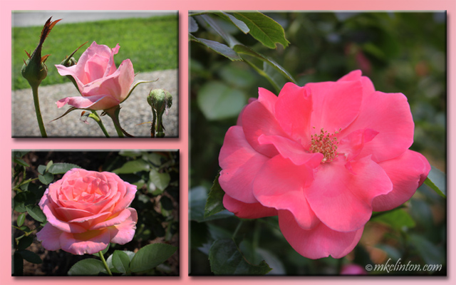 three pink roses in a collage