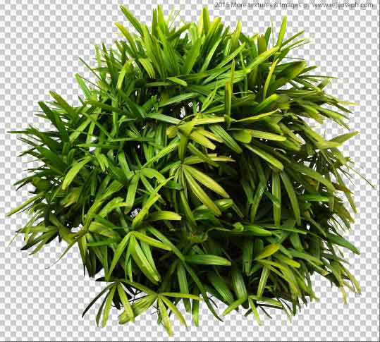 PNG Ground Rattan Plant 00002