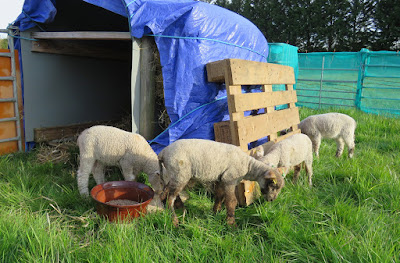 Image: lamb shelter at the HenSafe smallholding