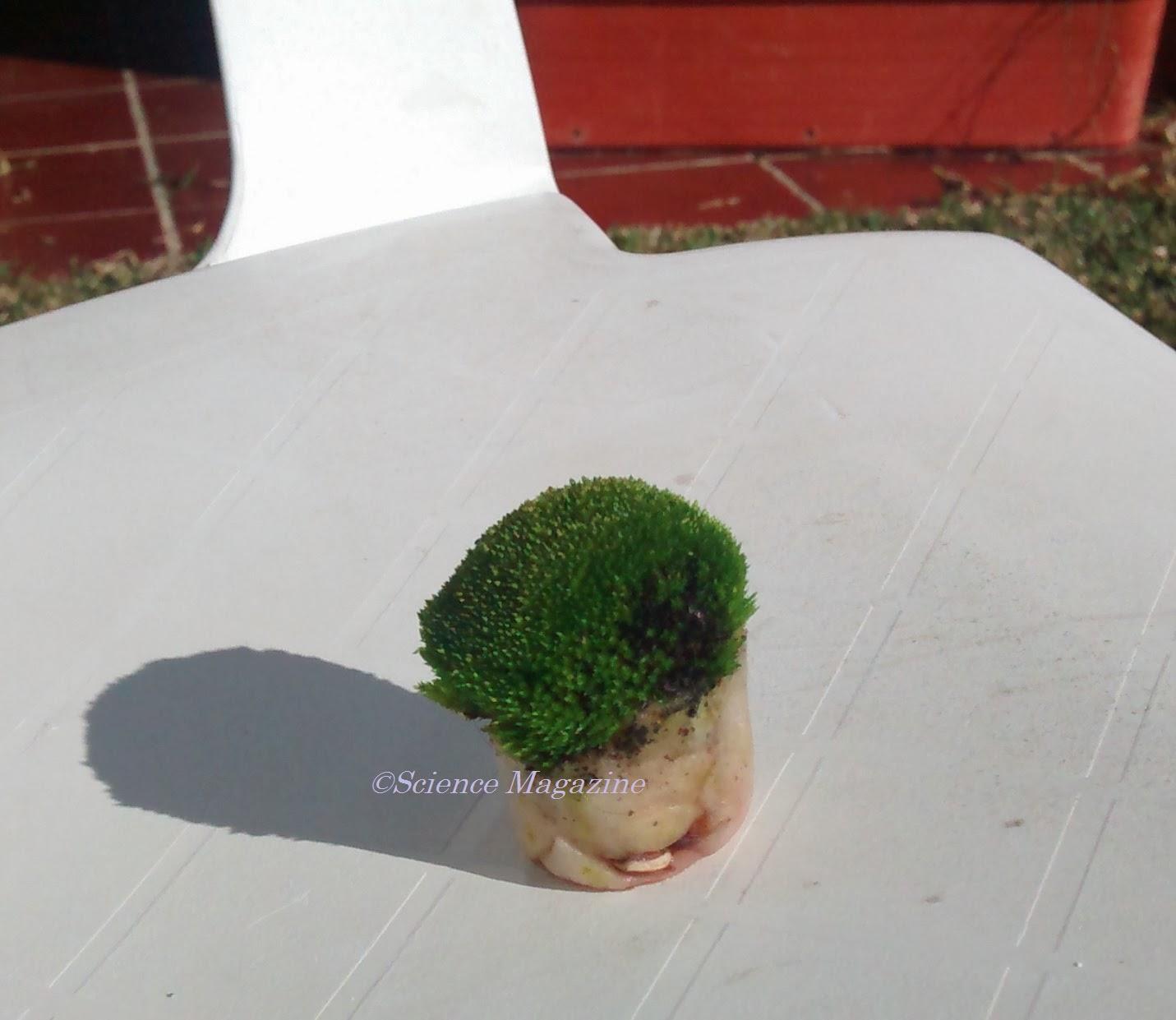 Science Magazine Growing Moss By Arturo Perez E2a