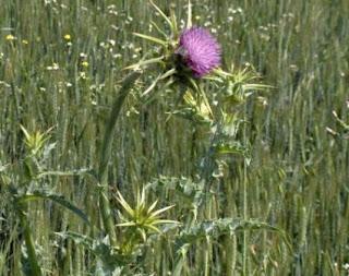 Khasiat Bunga Silybum Untuk Kesehatan