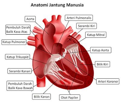 Bagian-bagian Jantung dan Fungsinya, jantung manusia  fungsi bagian jantung penjelasan tentang jantung, fungsi organ jantung, sebutkan bagian bagian jantung, fungsi bagian bagian jantung, fungsi aorta pada jantung, fungsi serambi kiri