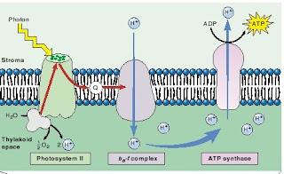 b6-f complex, ATP synthase, fotosintesis, Chemiosmosis