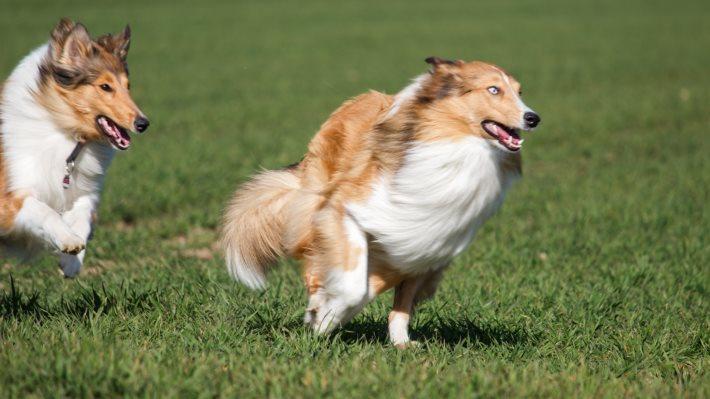 Wallpaper: Collie Dogs Running