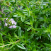 Summer Savory: Benefits, Side effects and How to Make Savory Tea