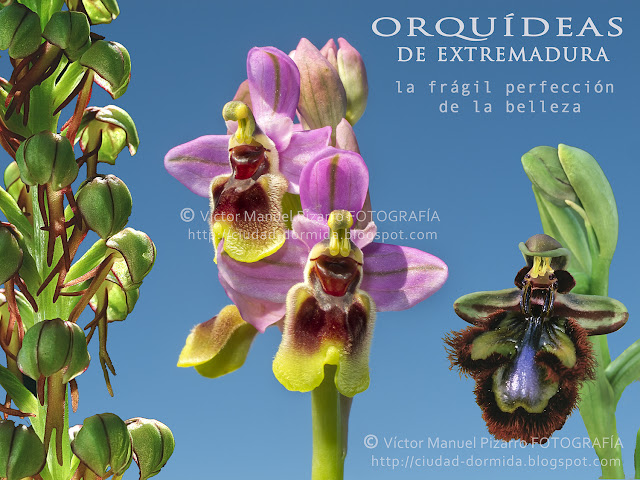 521454f407ce Orquídeas de Extremadura