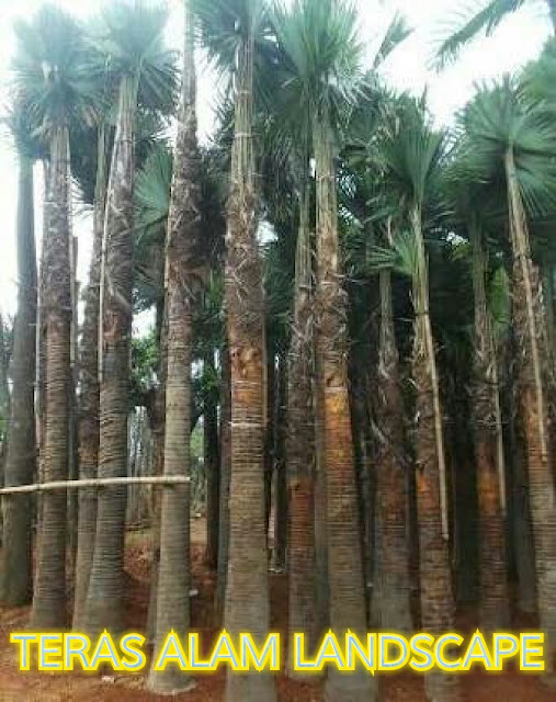 pusat pohon palem washington