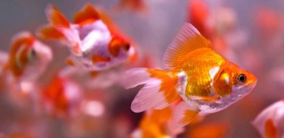 Gambar Ikan Koki - Cara Budidaya Ikan