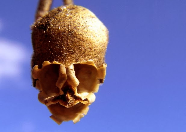 The Dragons Skull Seed Pod on growing orchids from seed
