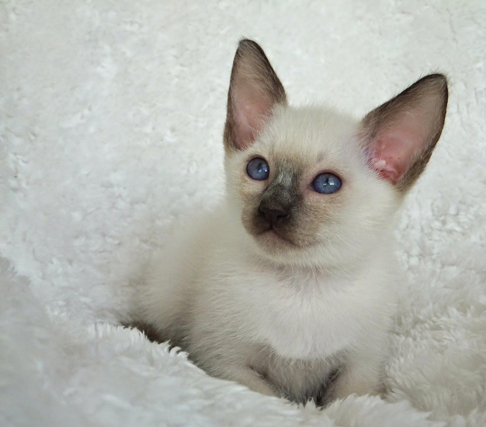 Southron Siamese Pleasers Siamese Kittens Nashville