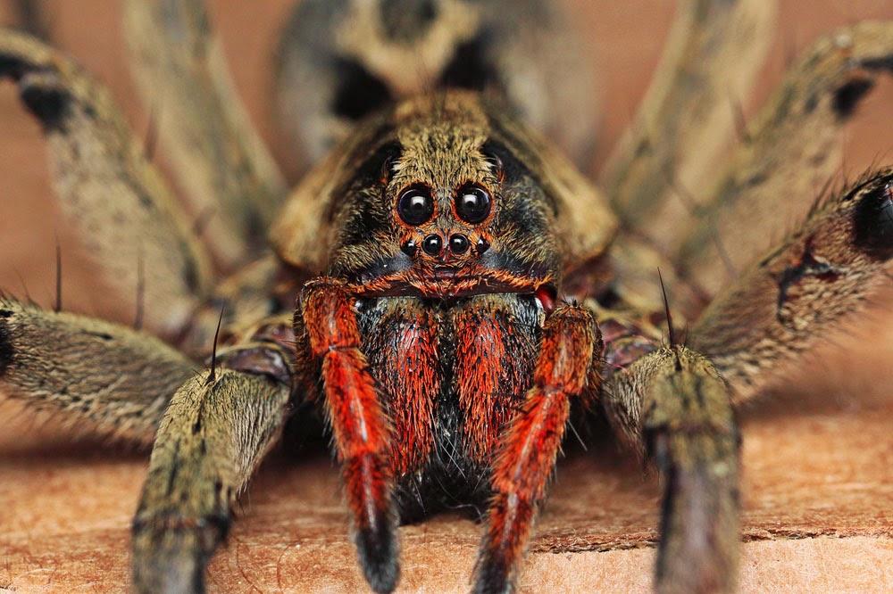 Araña brasileña errante